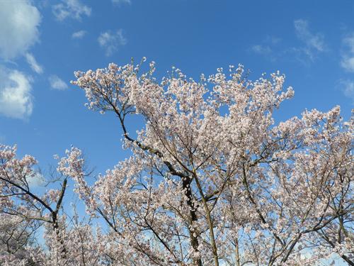 2018年4月 高遠城址公園の桜祭りに行ってきました!